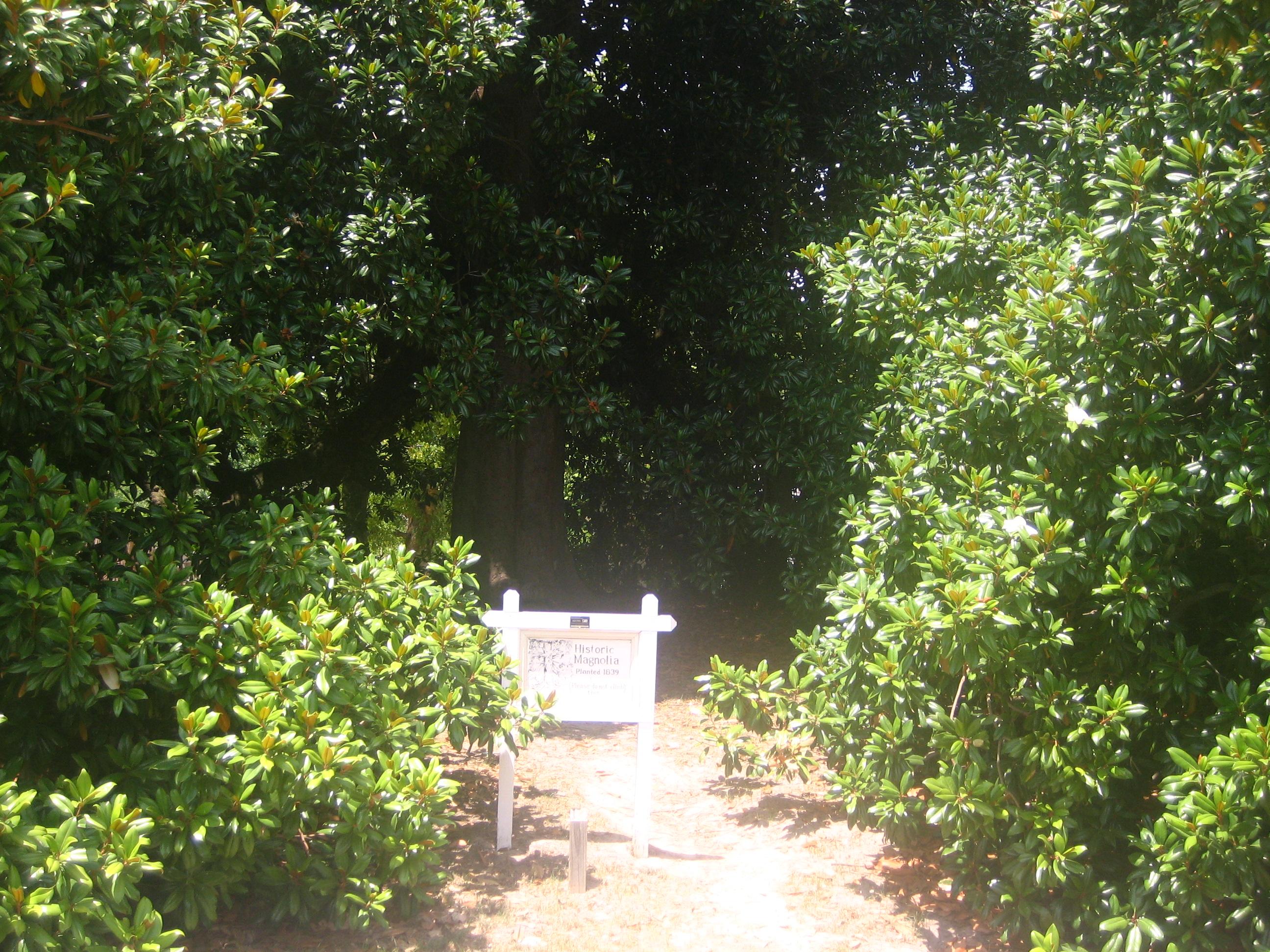 Filemagnolia Tree At Historic Washington State Park Img 1484jpg
