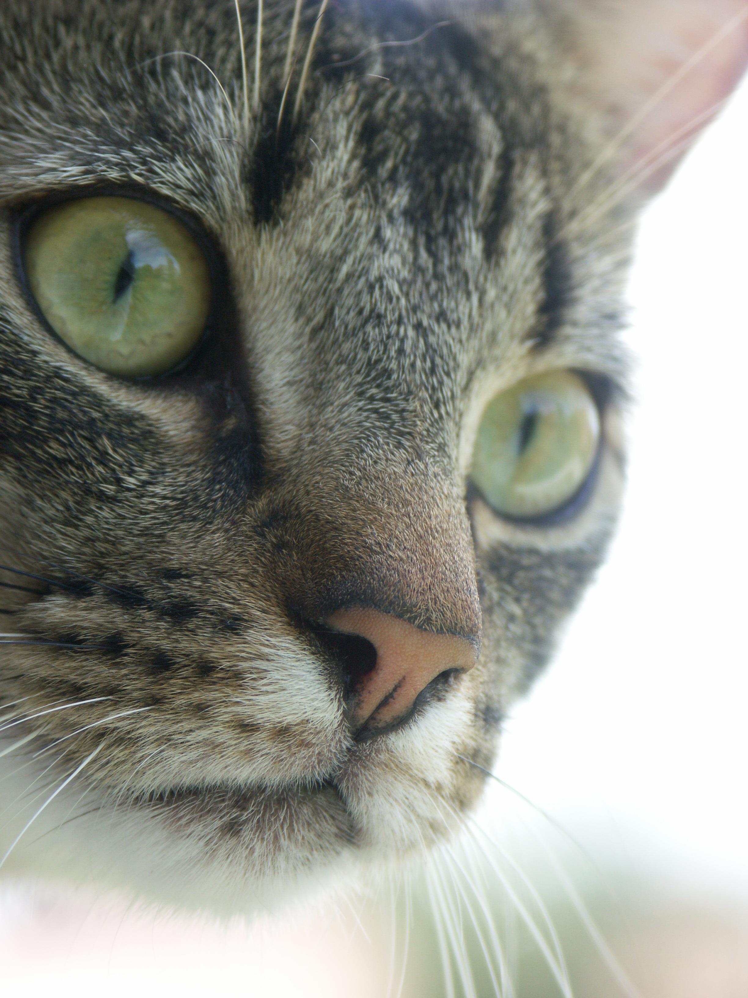 Gray Tabby Cat Eyes
