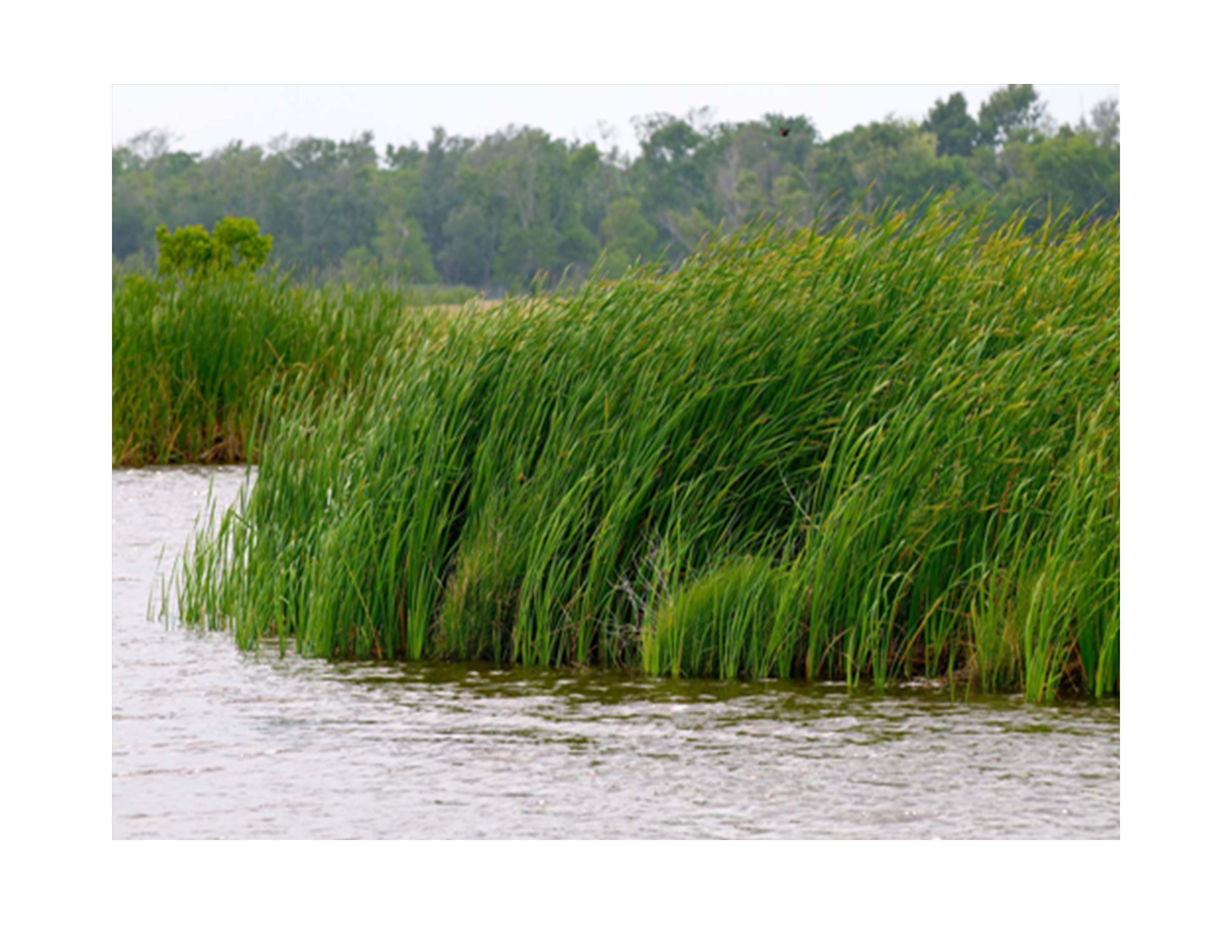 file marsh grass in the breeze  louisiana  5984380675  jpg