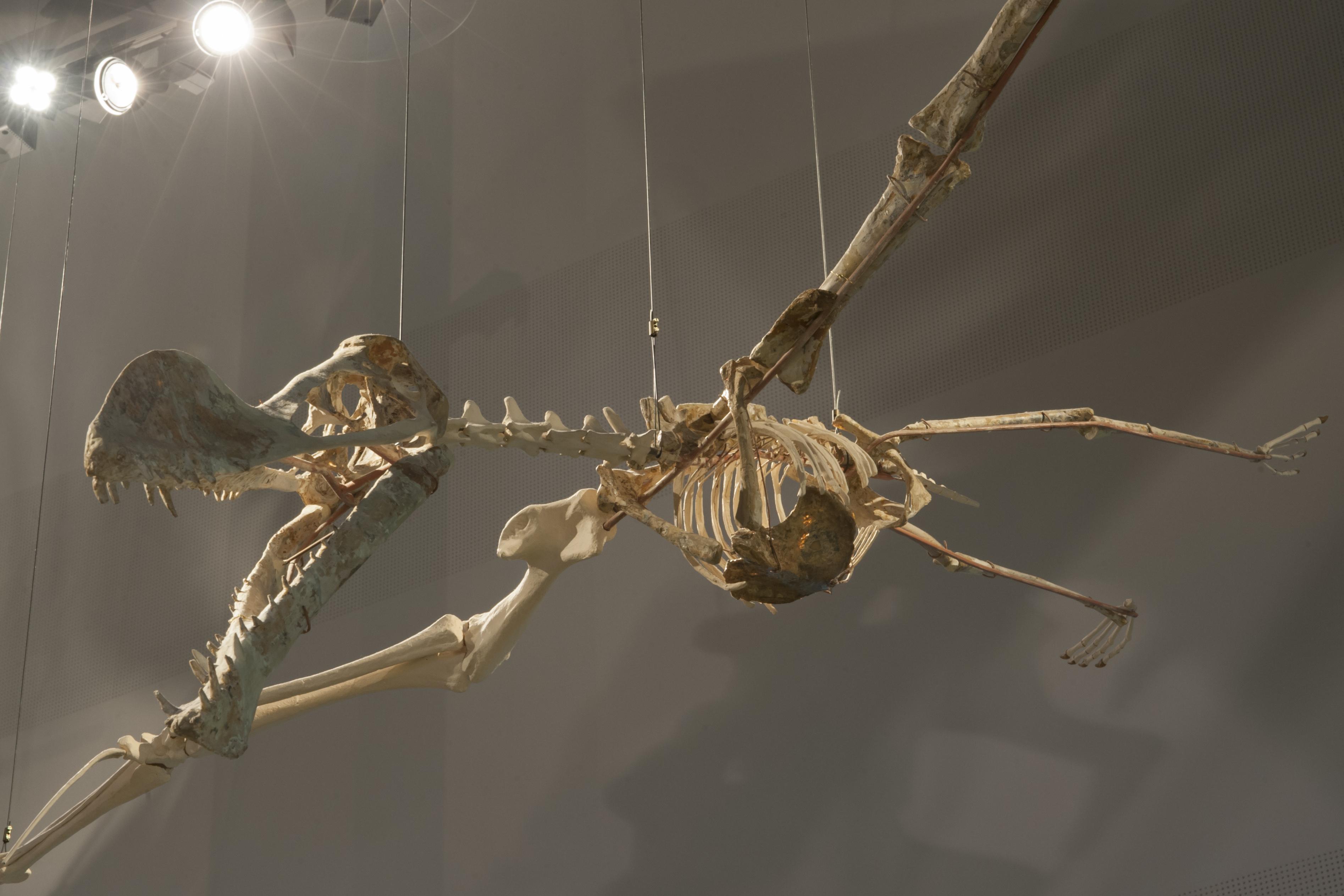 Naturalis_Biodiversity_Center_-_Museum_-_Exhibition_Primeval_parade_21_-_Flying_reptile_Coloborhynchus_spielbergi.jpg