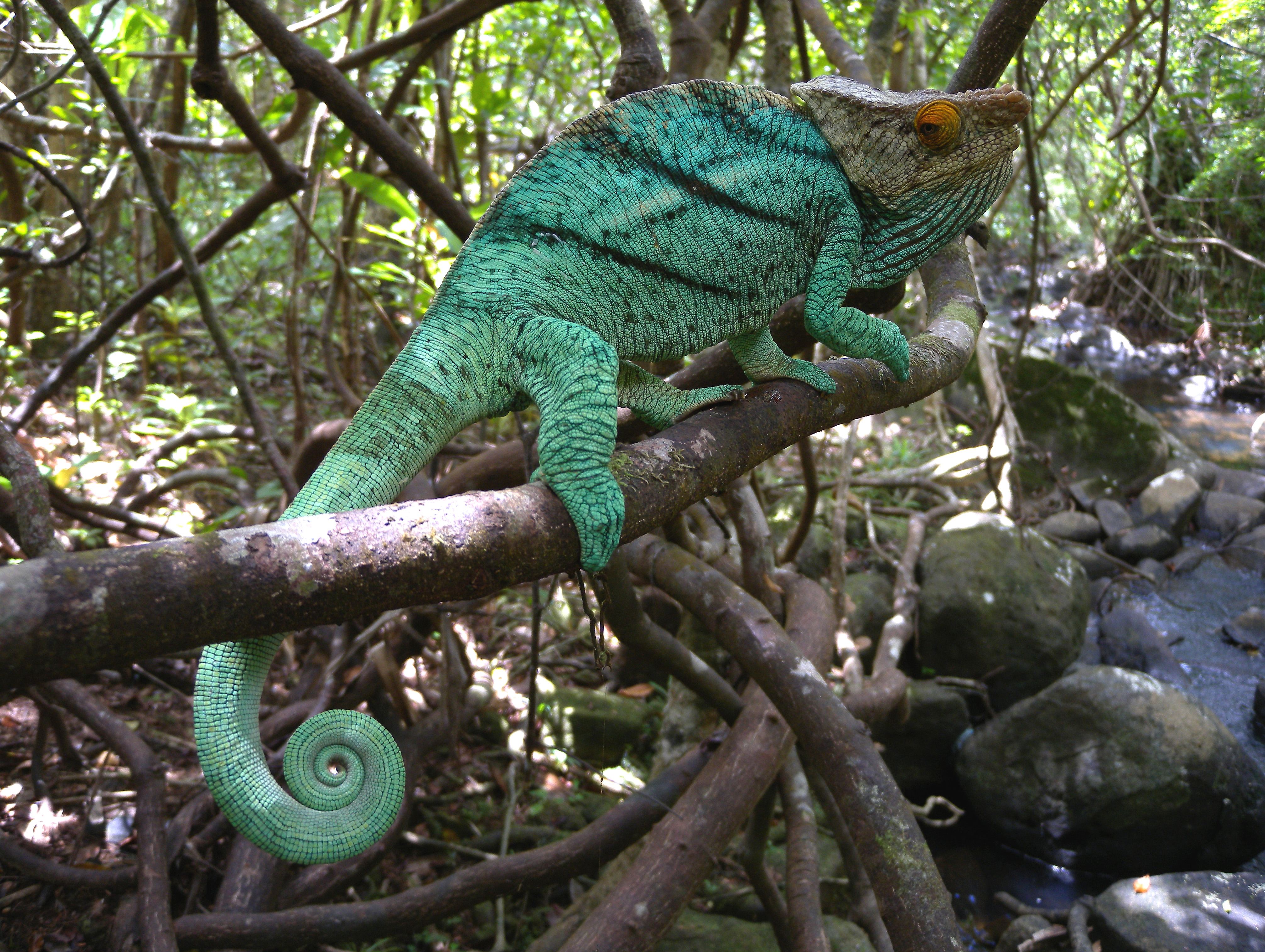fileparson's chameleon ile sainte marie madagascar