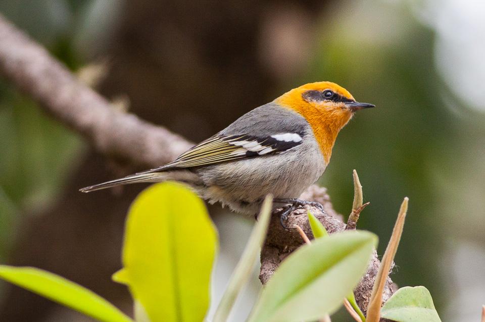 Olive warbler - Wikipedia