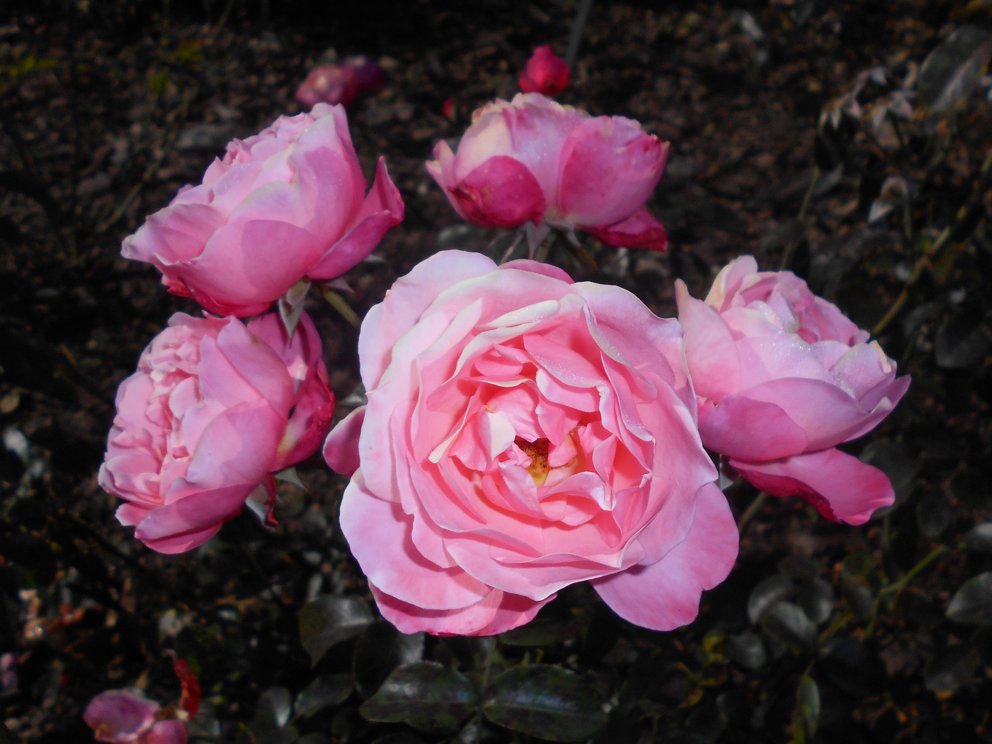 Filerosa Mein Schoner Garten 2017 10 02 6761jpg Wikimedia Commons