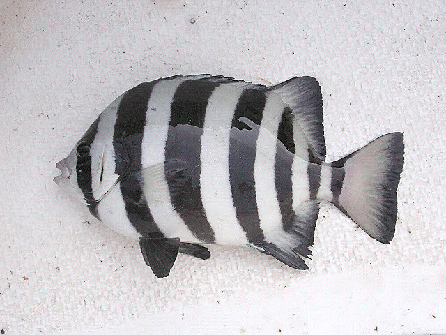 A picture of the Japanese Striped Beakfish, Oplegnathus fasciatus.