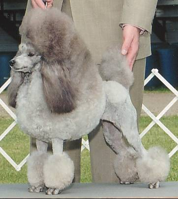 File:Silver Miniature Poodle stacked.jpg - Wikimedia Commons