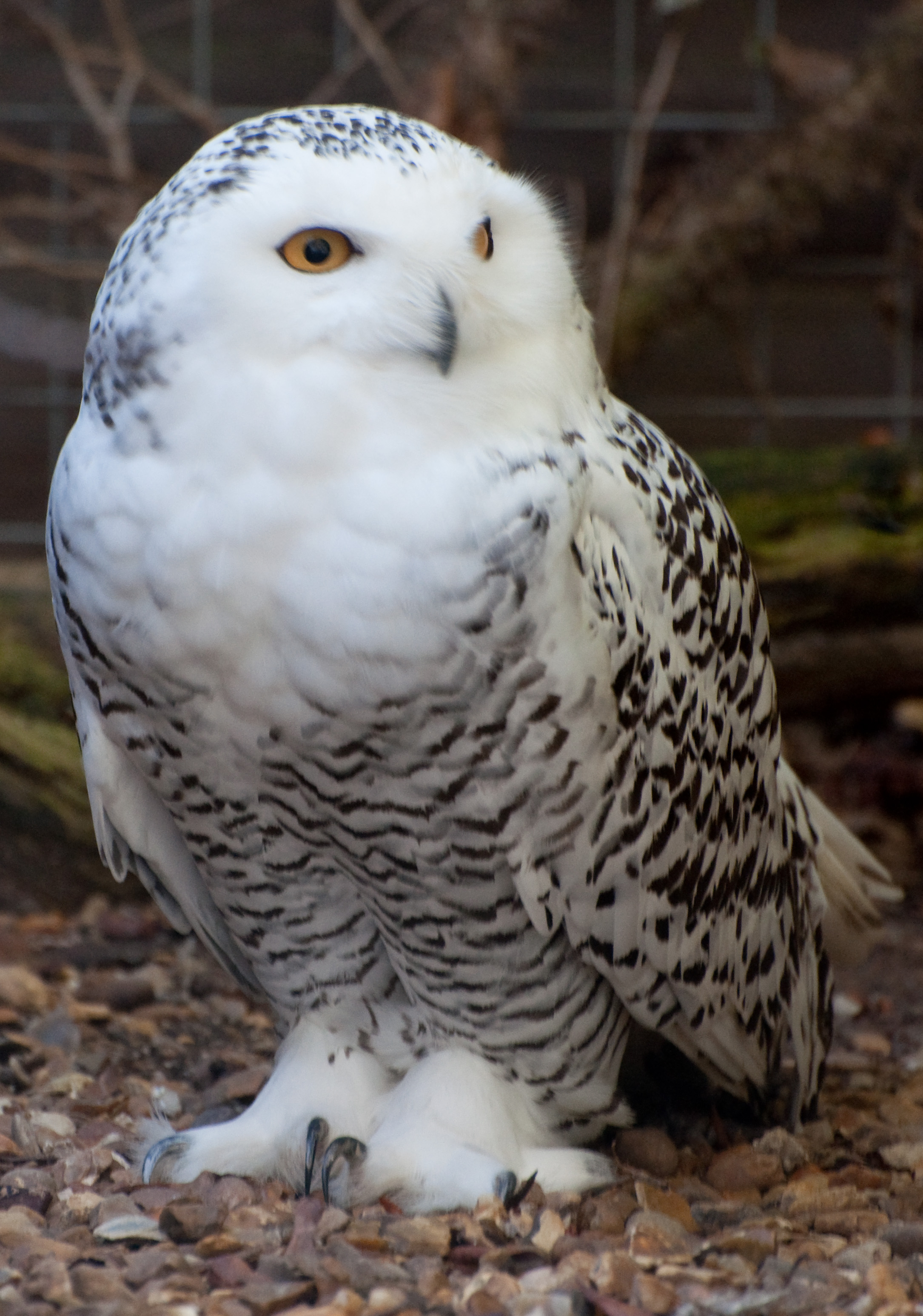 Image Result For Images Of Owls