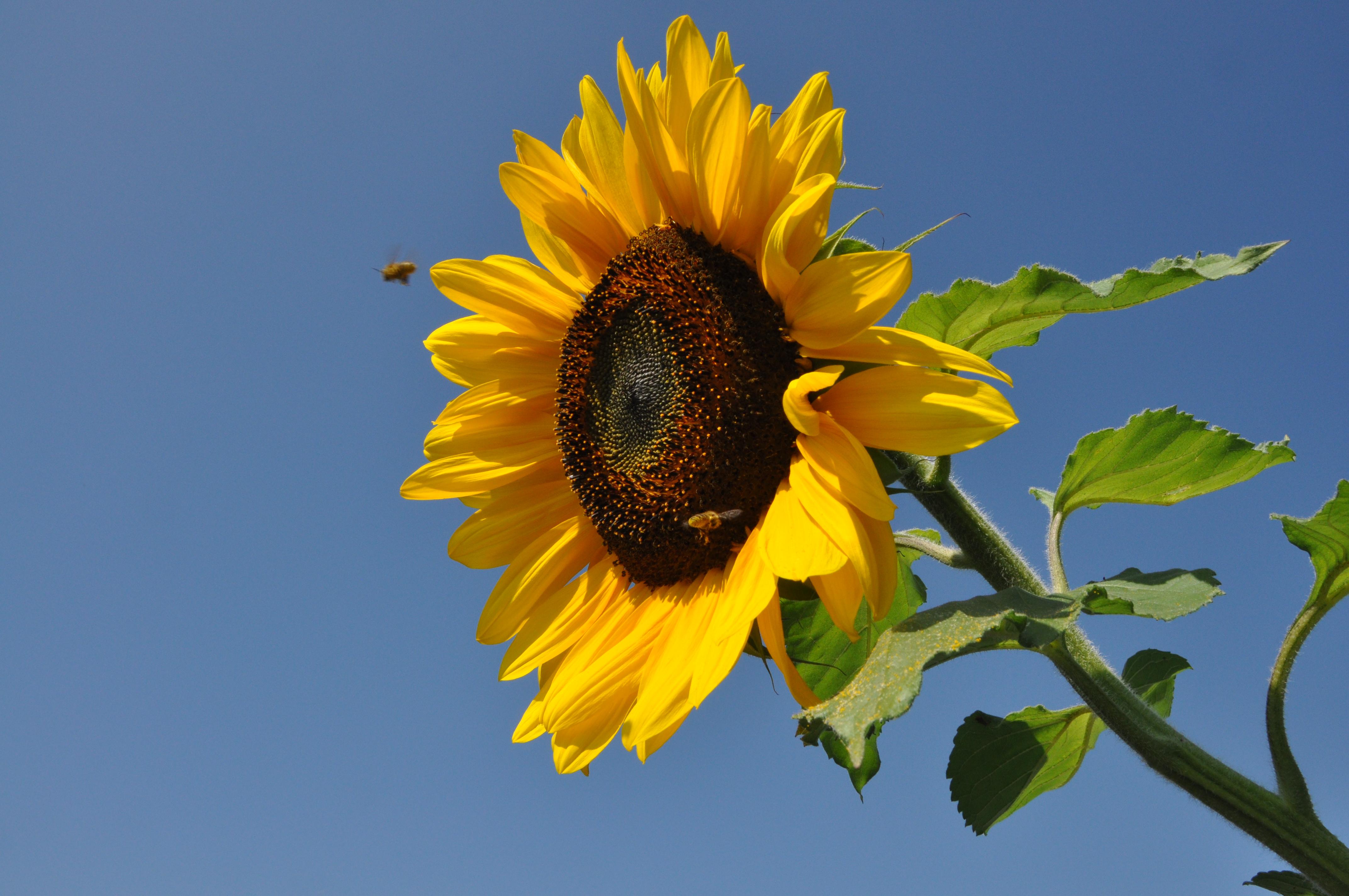 pin mit sonnenblumen top deko geschenk wohnen dekorieren 009103345 on pinterest. Black Bedroom Furniture Sets. Home Design Ideas