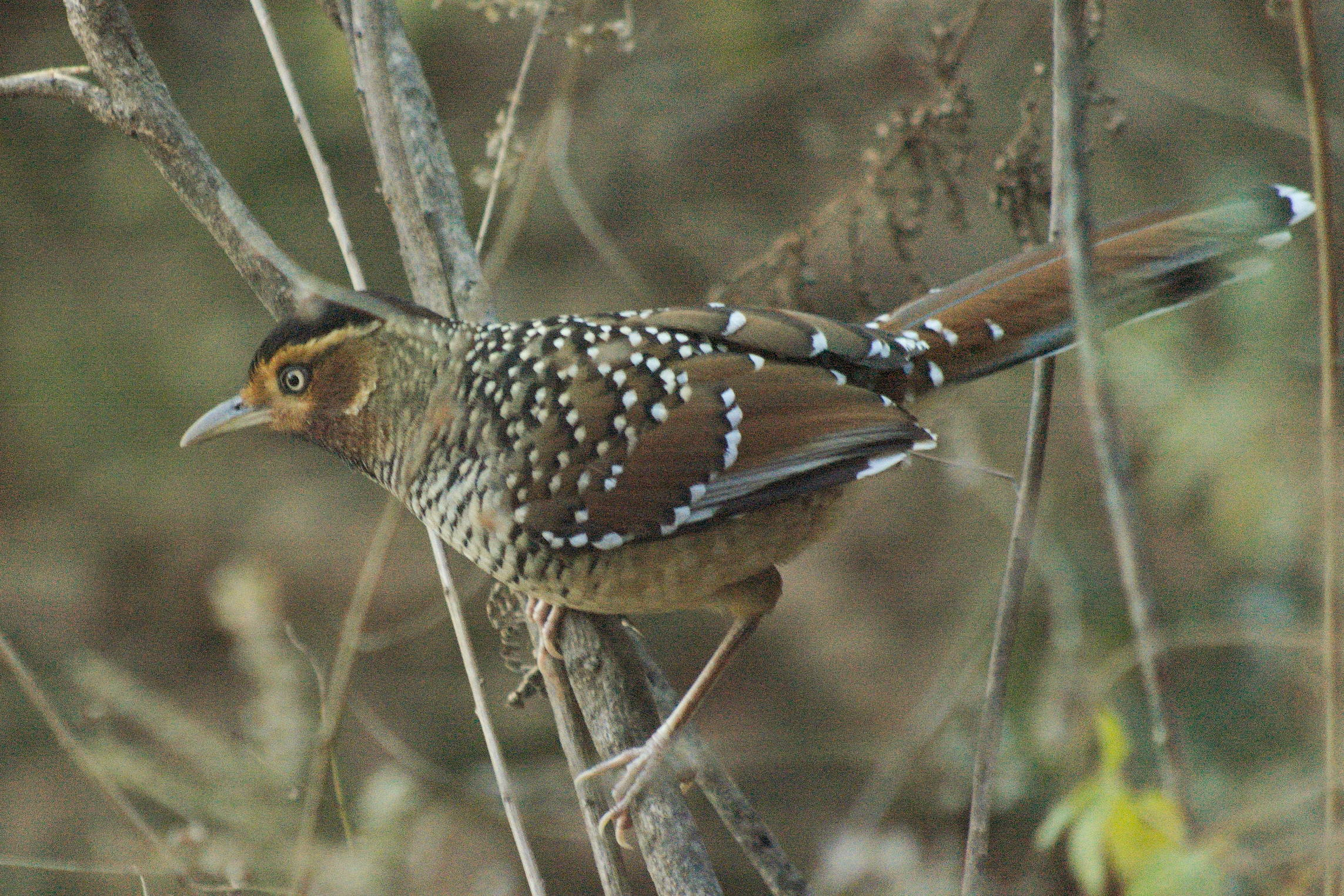 spotted laughingthrush.jpg