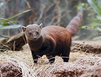 Ring Tailed Mongoose Niche