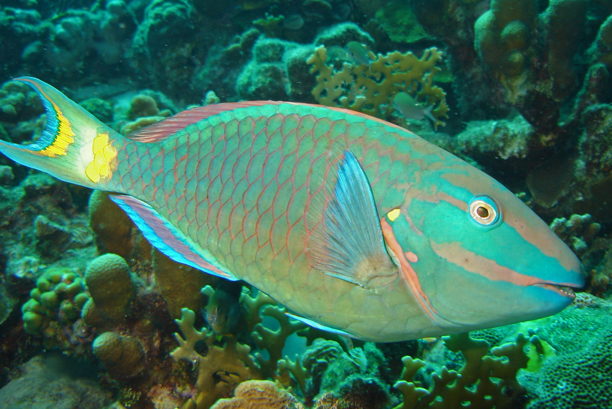 Stoplight parrotfish wikipedia for What do fish see