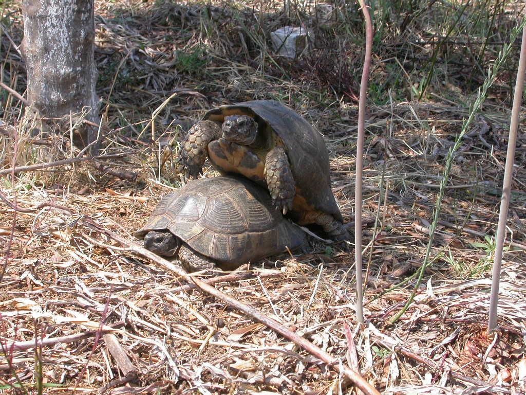 File t marginata in accoppiamento dintorni di parga for Accoppiamento tartarughe