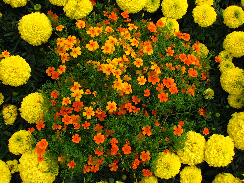 Description Tagetes in flowerbed border 03.JPG: commons.wikimedia.org/wiki/File:Tagetes_in_flowerbed_border_03.JPG