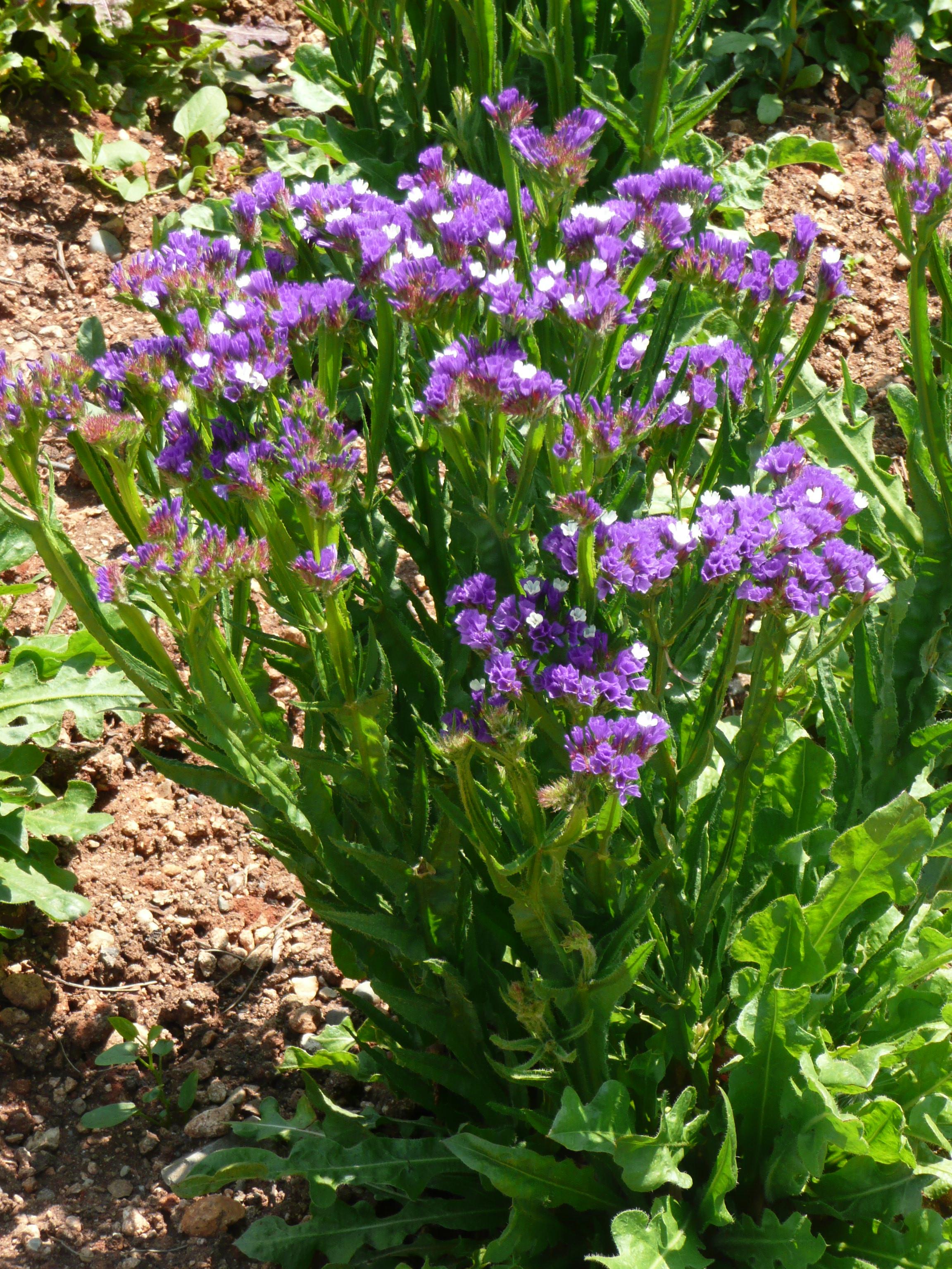 Цветы кермек посадка и уход фото