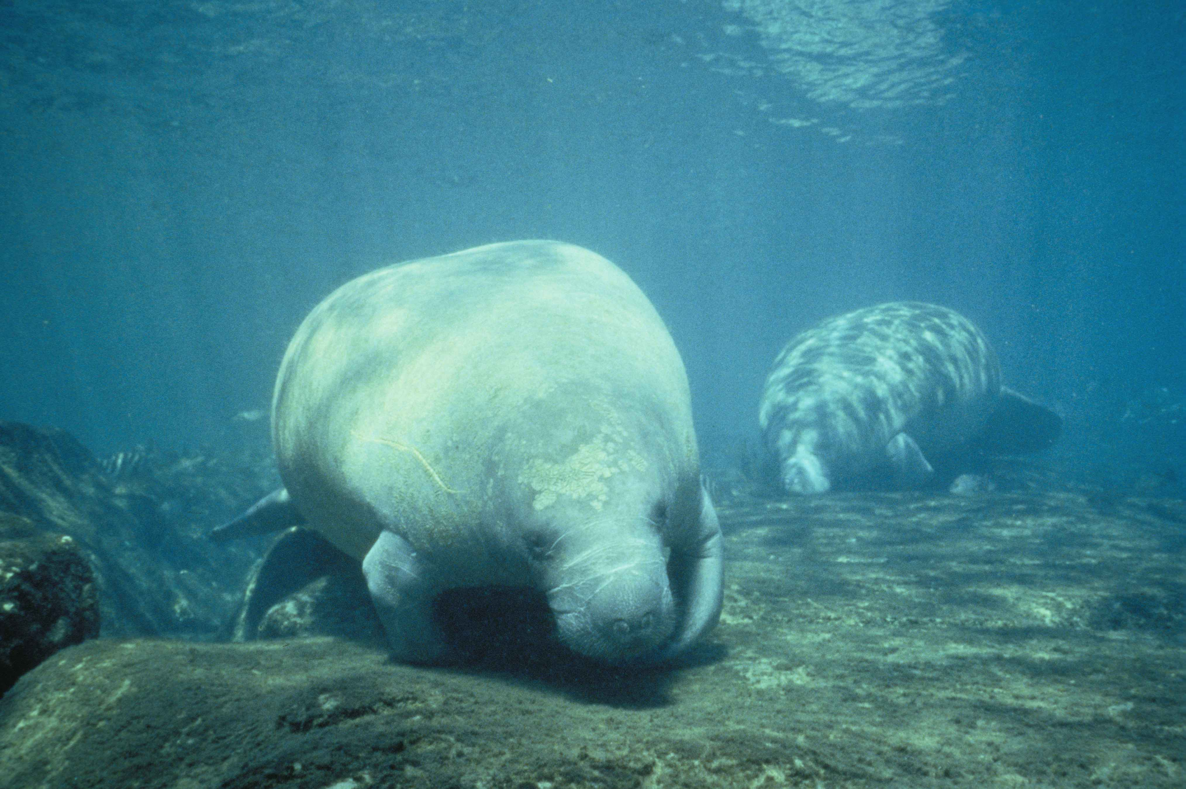 file two west indian manatee trichechus manatus foraging wildlife clipart african wildlife clipart african