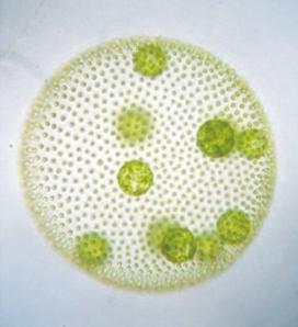 <i>Volvox carteri</i> Species of alga