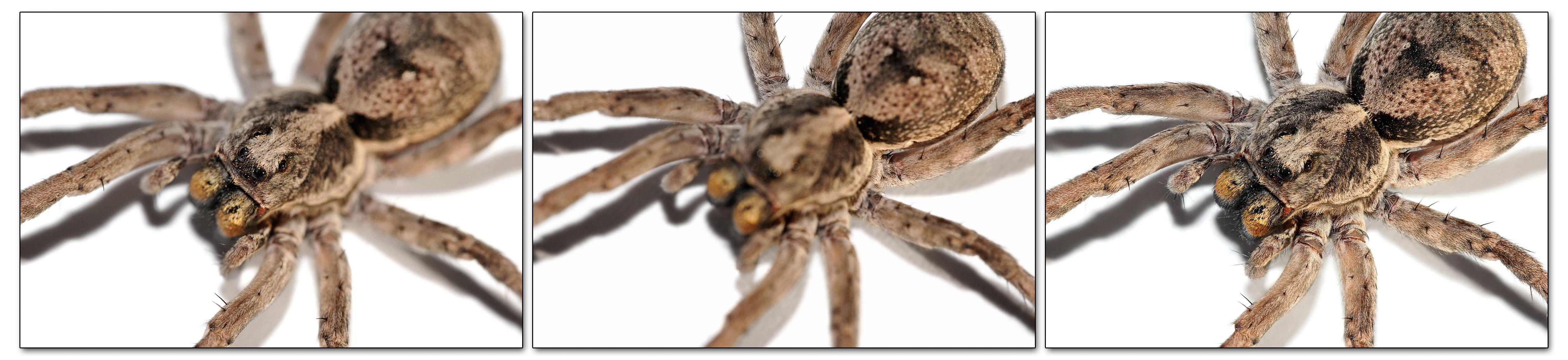 external image Wolf_spider_focus_bracket_series02.jpg