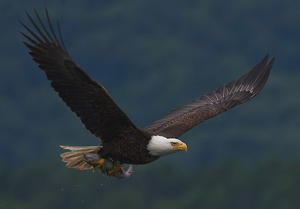2010-bald-eagle-with-fish.jpg