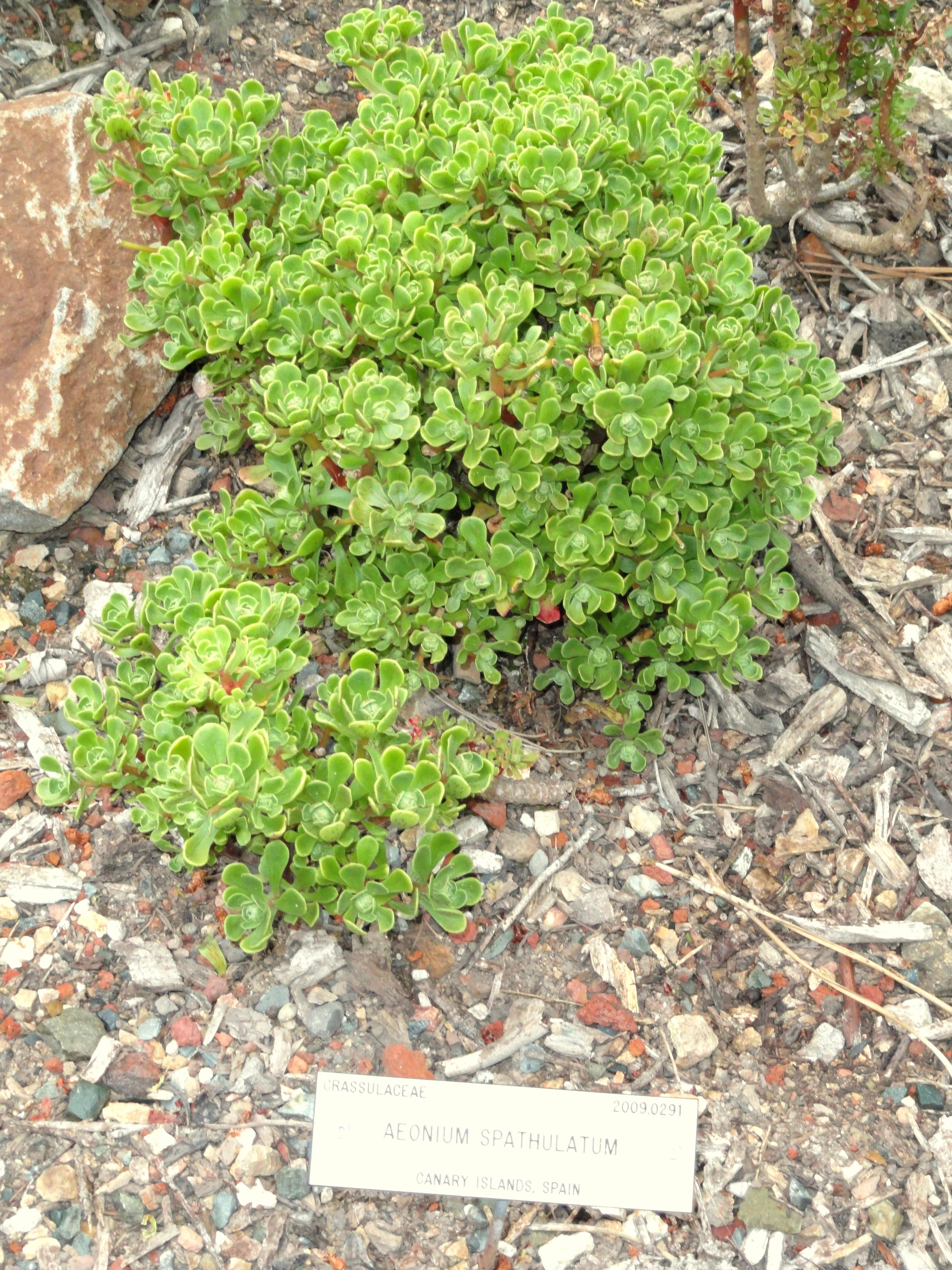 File:Aeonium Spathulatum   University Of California Botanical Garden    DSC08938.JPG