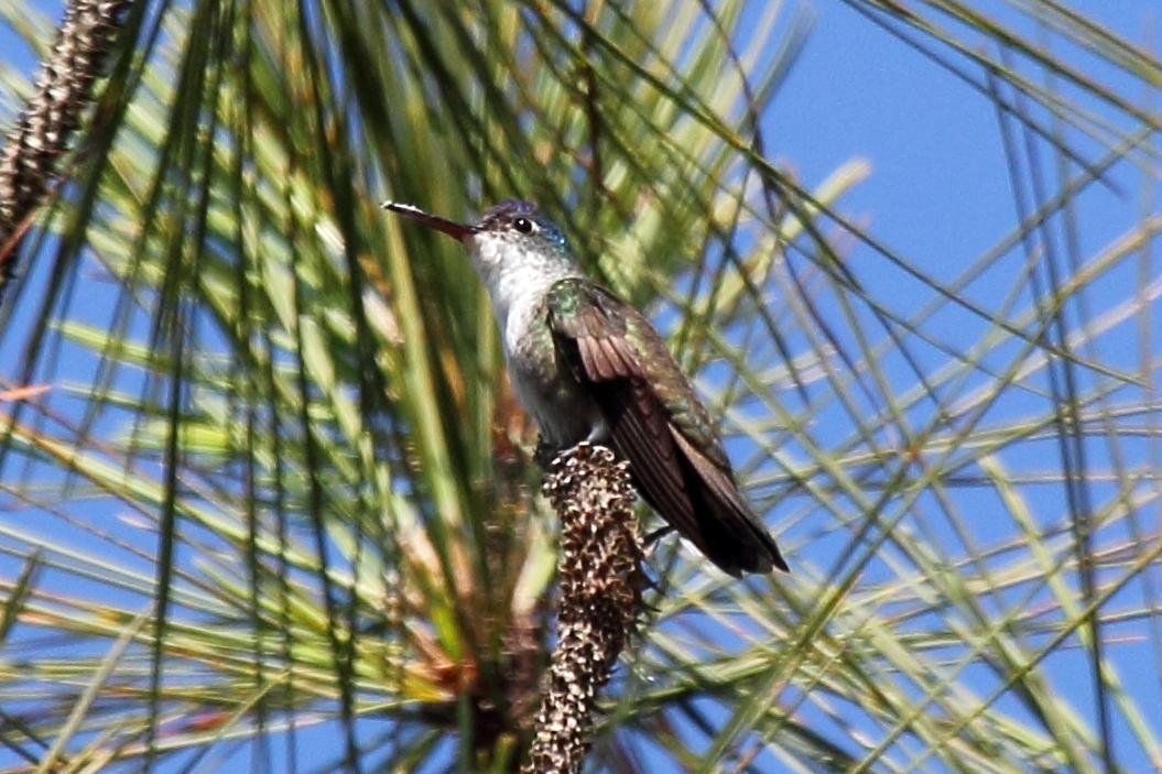 Azure Crowned Hummingbird Azure-crowned Hummingbird