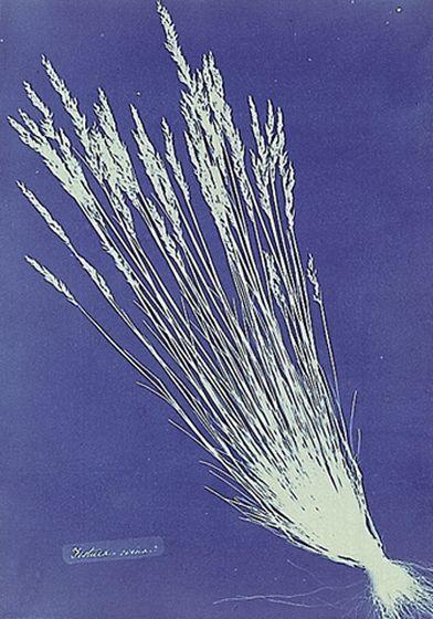 Anna Atkins - Fetucca grass, κυανοτυπία