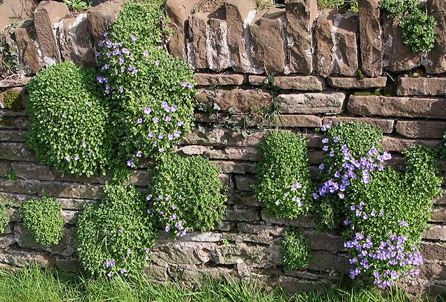 FileAubretia colonising a garden wall geographorguk