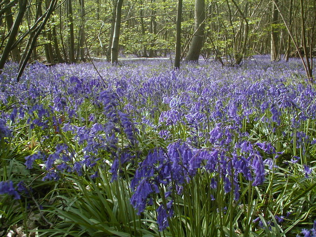 Bluebells in Blakes Wood - geograph.org.uk - 314771