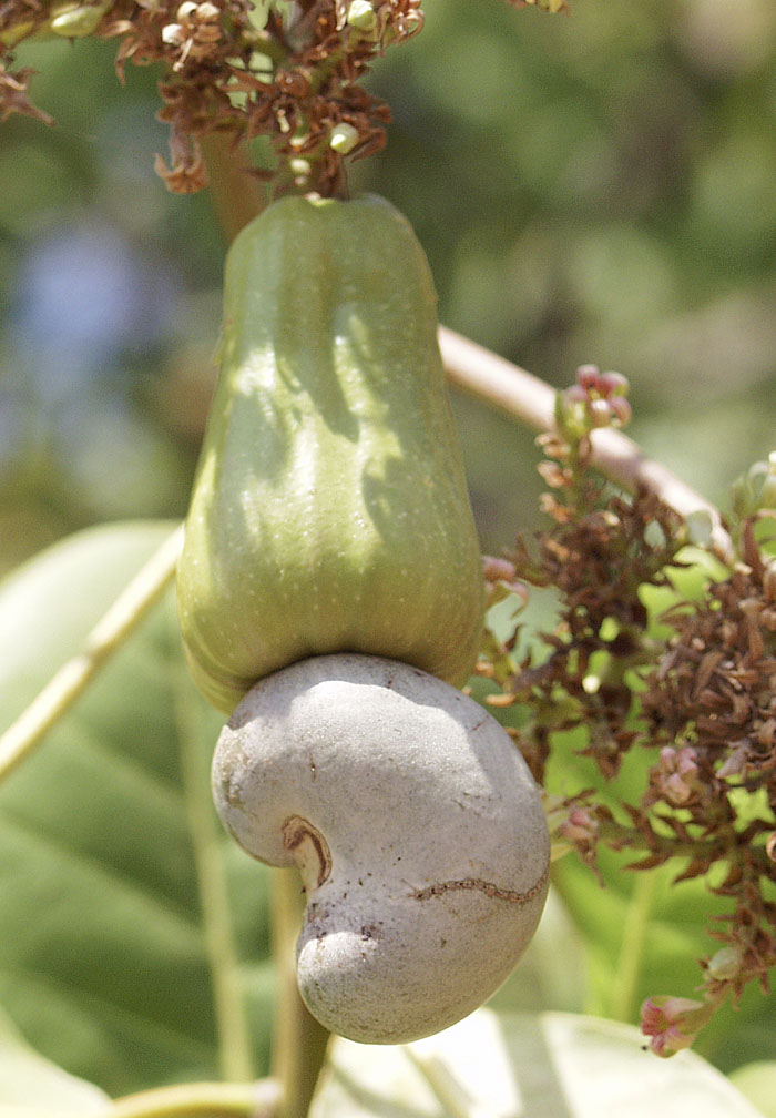 File Cashew fruit and ...