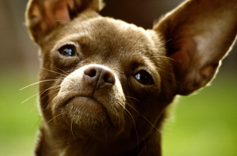 File:Chihuahua Dog 001.jpg - Wikimedia Commons