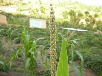 File Corn Flower In School Field Fleur De Mais Dans Le Champ De L