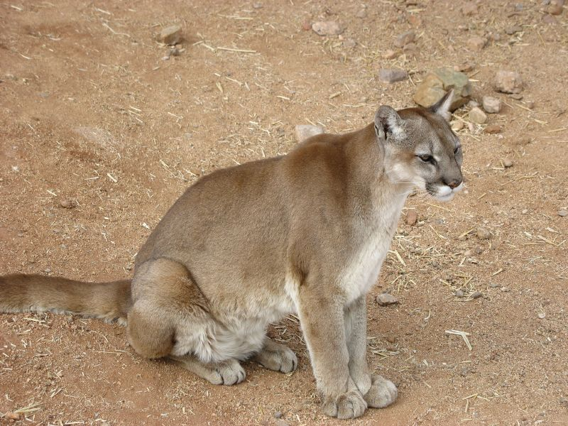 File:Cougar sitting.jpg
