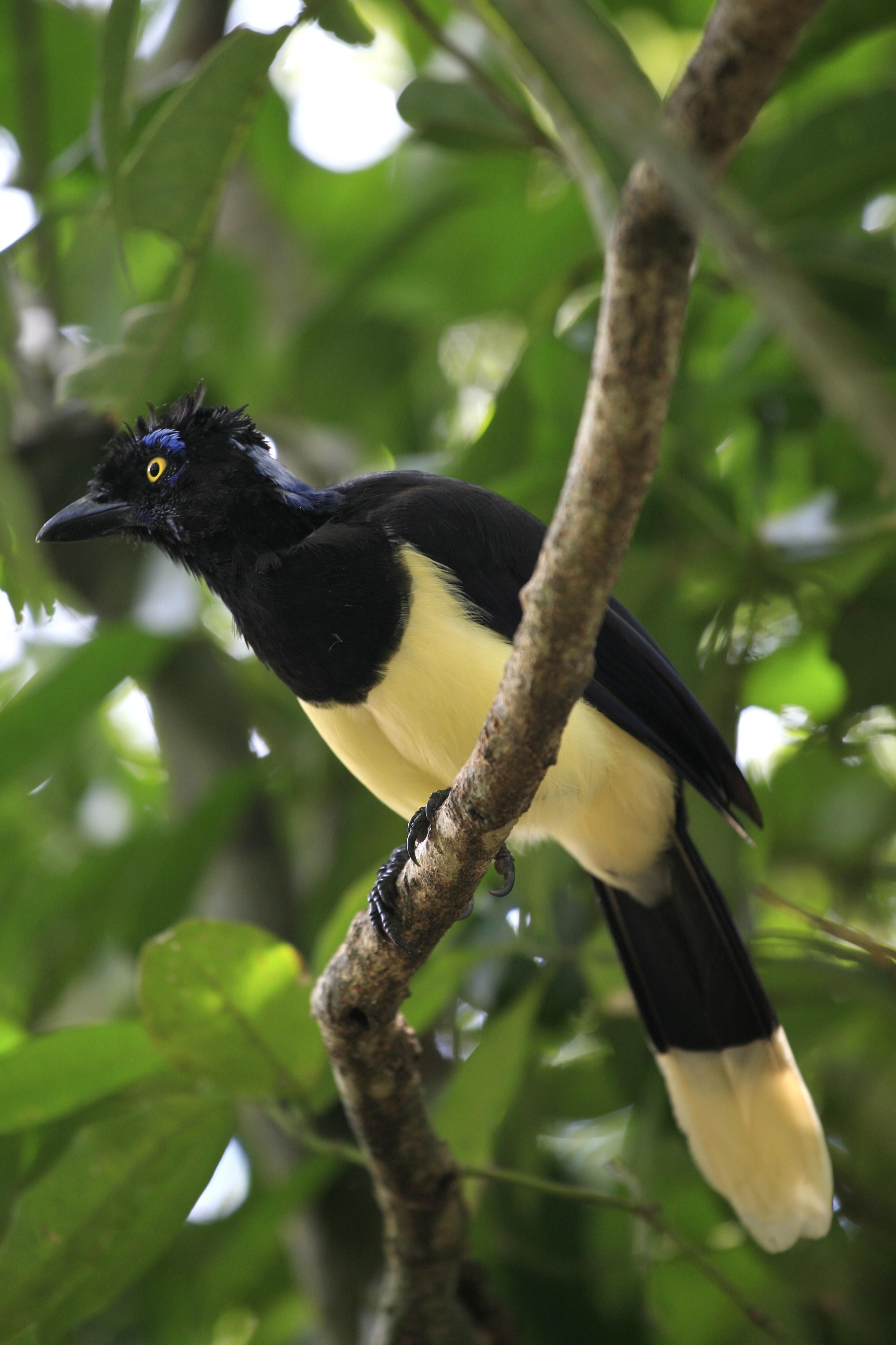 File Cyanocorax Chrysops Iguazu National Park Argentina
