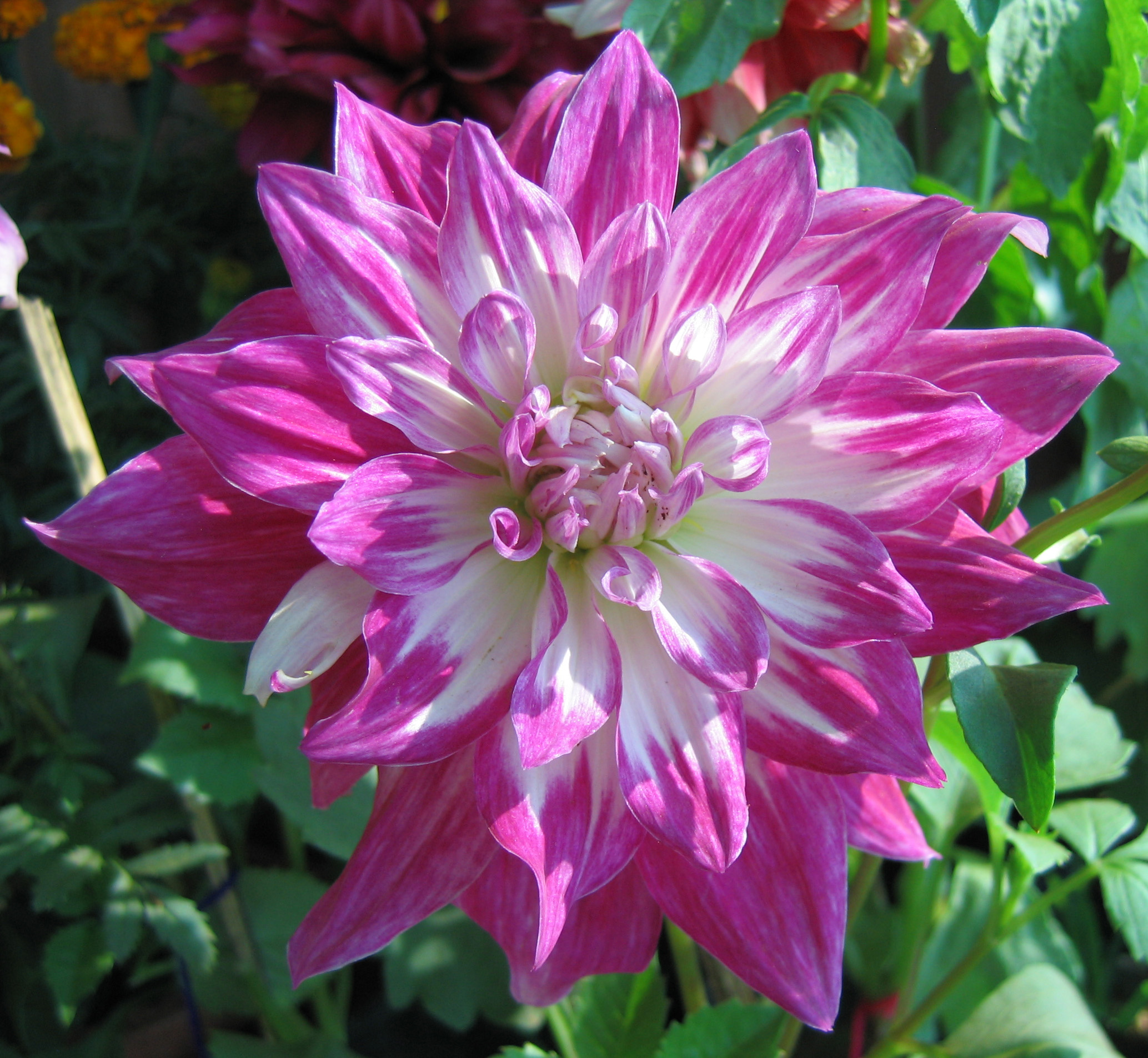 Filedahlia Flower Roseg Wikimedia Commons