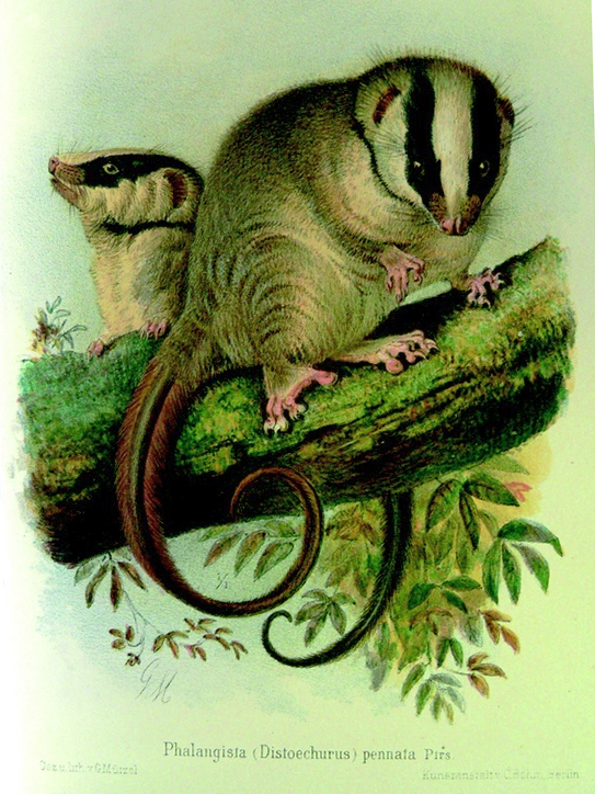 The average litter size of a Feather-tailed possum is 1