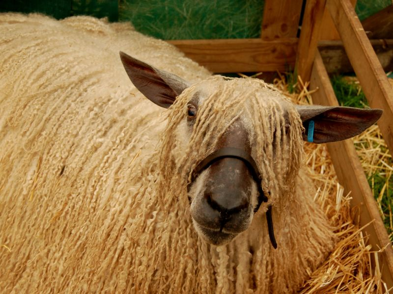 of all sheep breeds