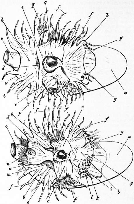 EB1911 Cephalopoda Fig. 6.—Male (upper) and female (lower) specimens of Nautilus pompilius.jpg