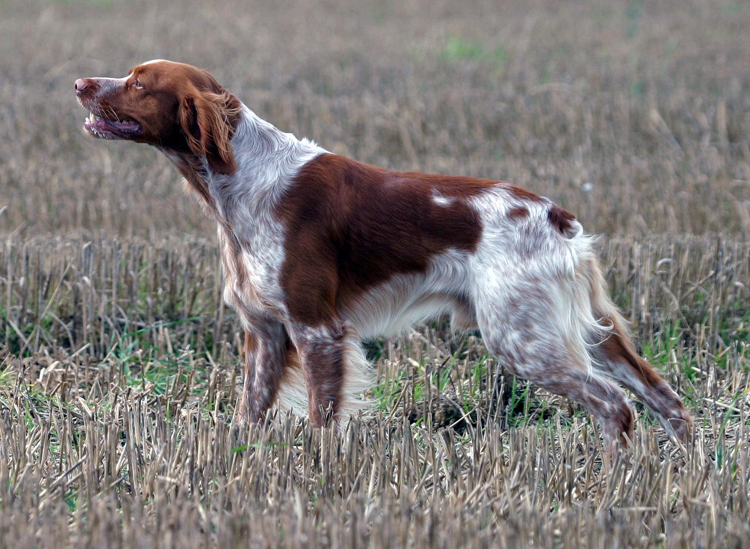 ファイル epagneul breton jpg wikipedia