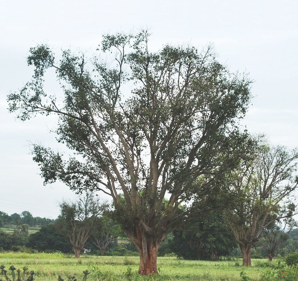 Ficus amplissima - Wikipedia