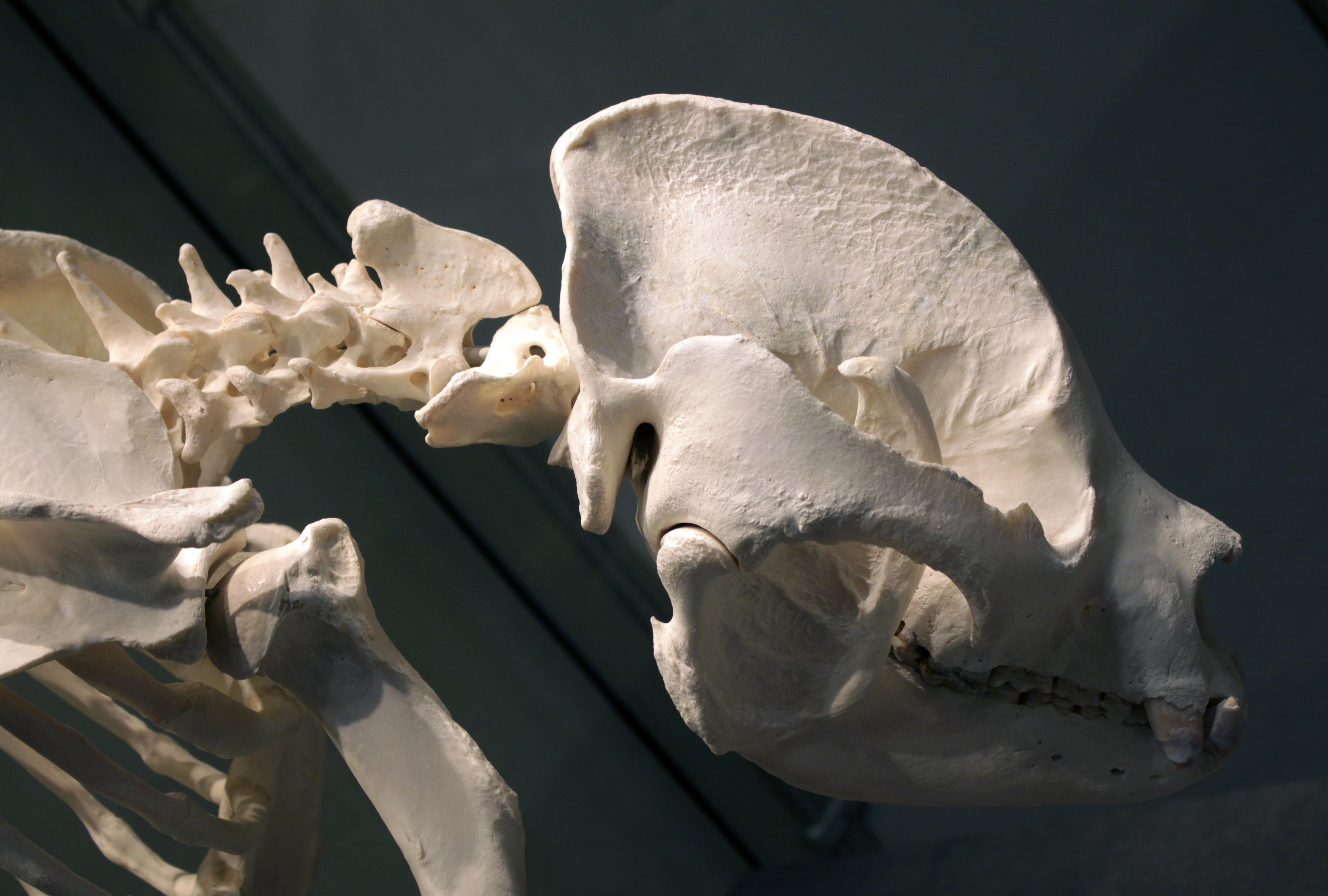 https://upload.wikimedia.org/wikipedia/commons/f/f4/Giant_panda_skull_Bao_Bao_Berlin_Museum_f%C3%BCr_Naturkunde_28042018.jpg