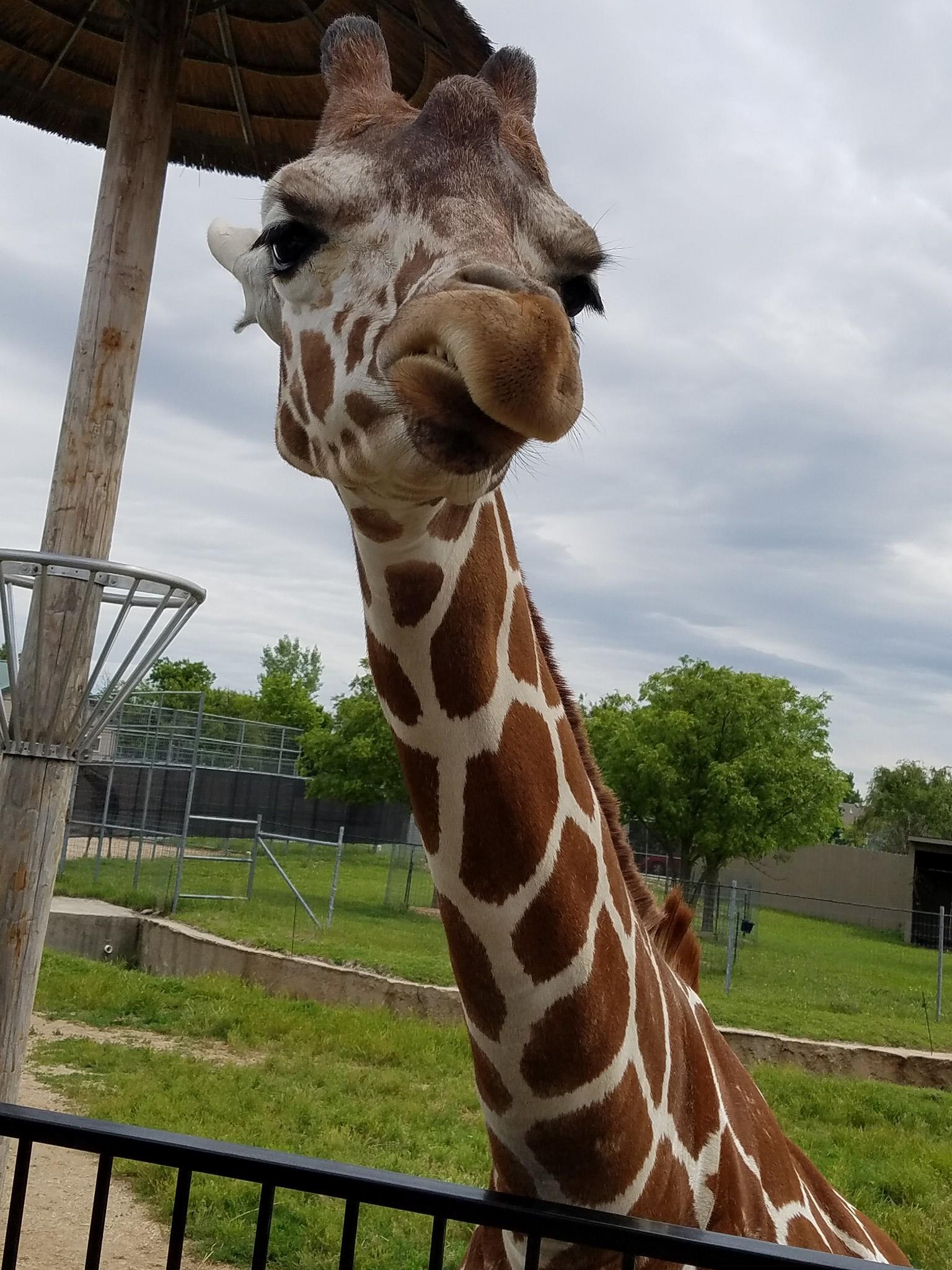 File:Giraffa camelopardalis reticulata Savvy jpg - Wikimedia