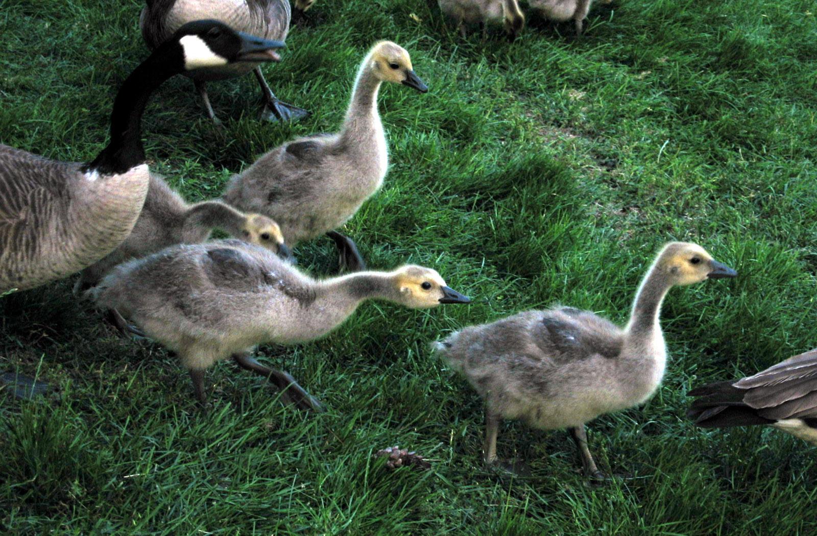 File:Goslings.jpg - Wikimedia Commons
