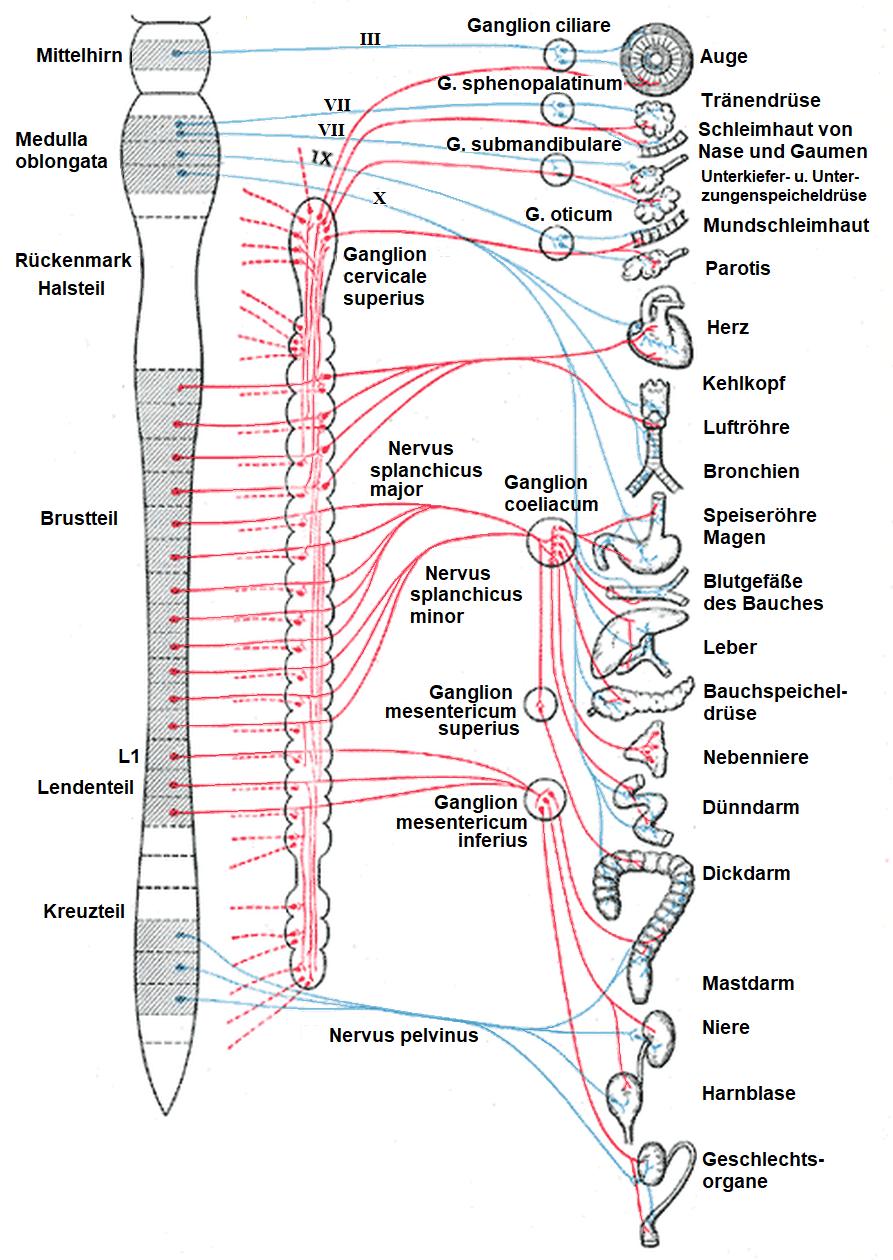 Sympatiske nervesystemet