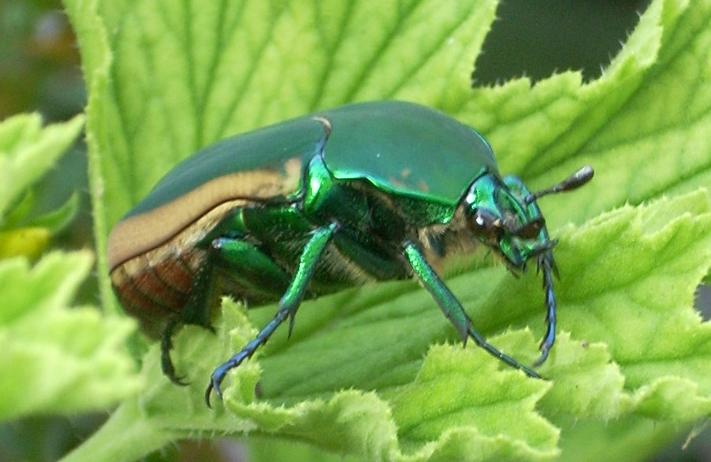 Figeater beetle - Wikipedia