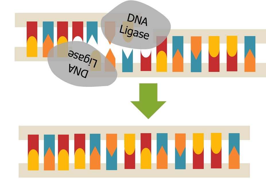 Heather Tsai DNA Ligase.png