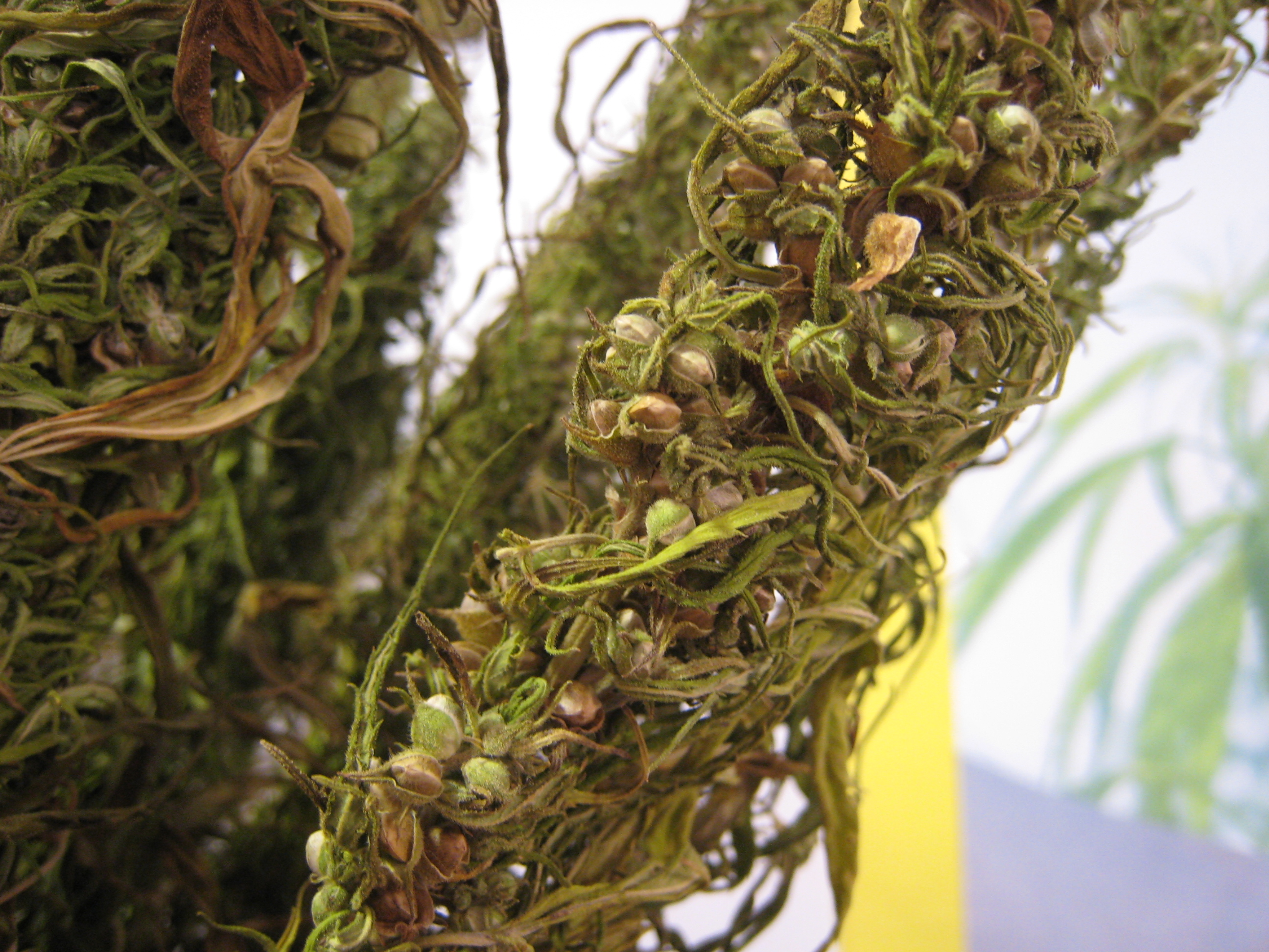 http://upload.wikimedia.org/wikipedia/commons/f/f4/Hemp_bunch-dried_out_-seeds_close_up_PNr%C2%B00063.jpg