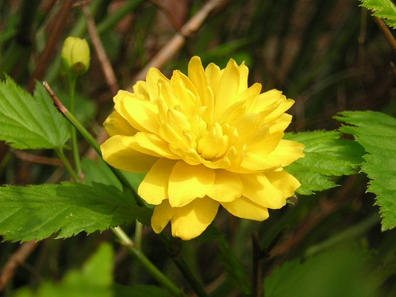 Ranonkelstruik wikipedia for Kerria japonica