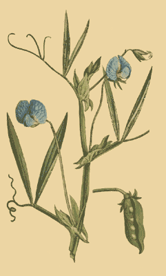 Saat-Platterbse (Lathyrus sativus), Illustration