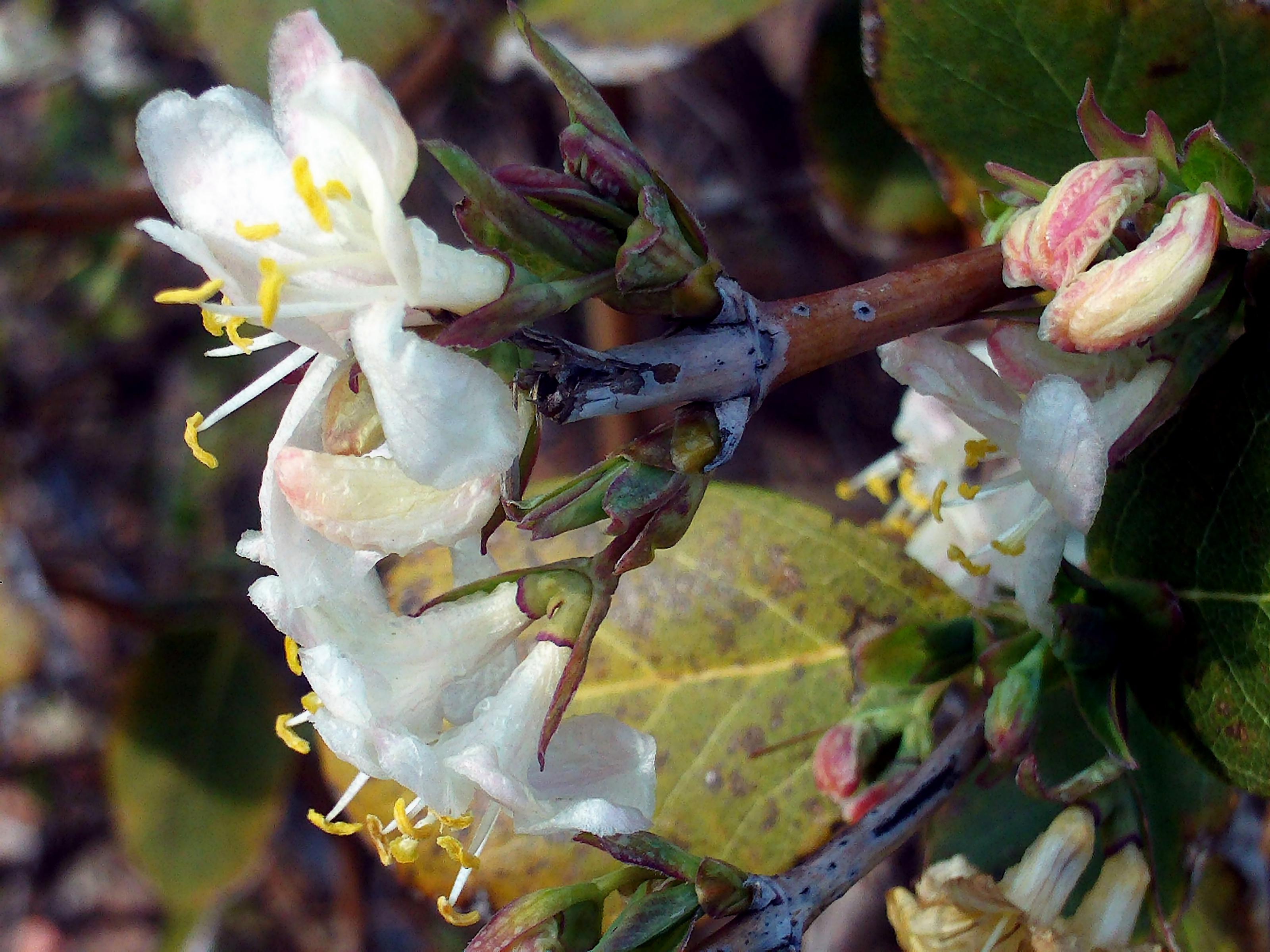 Beyaz Çiçekli Çalı Hanımeli