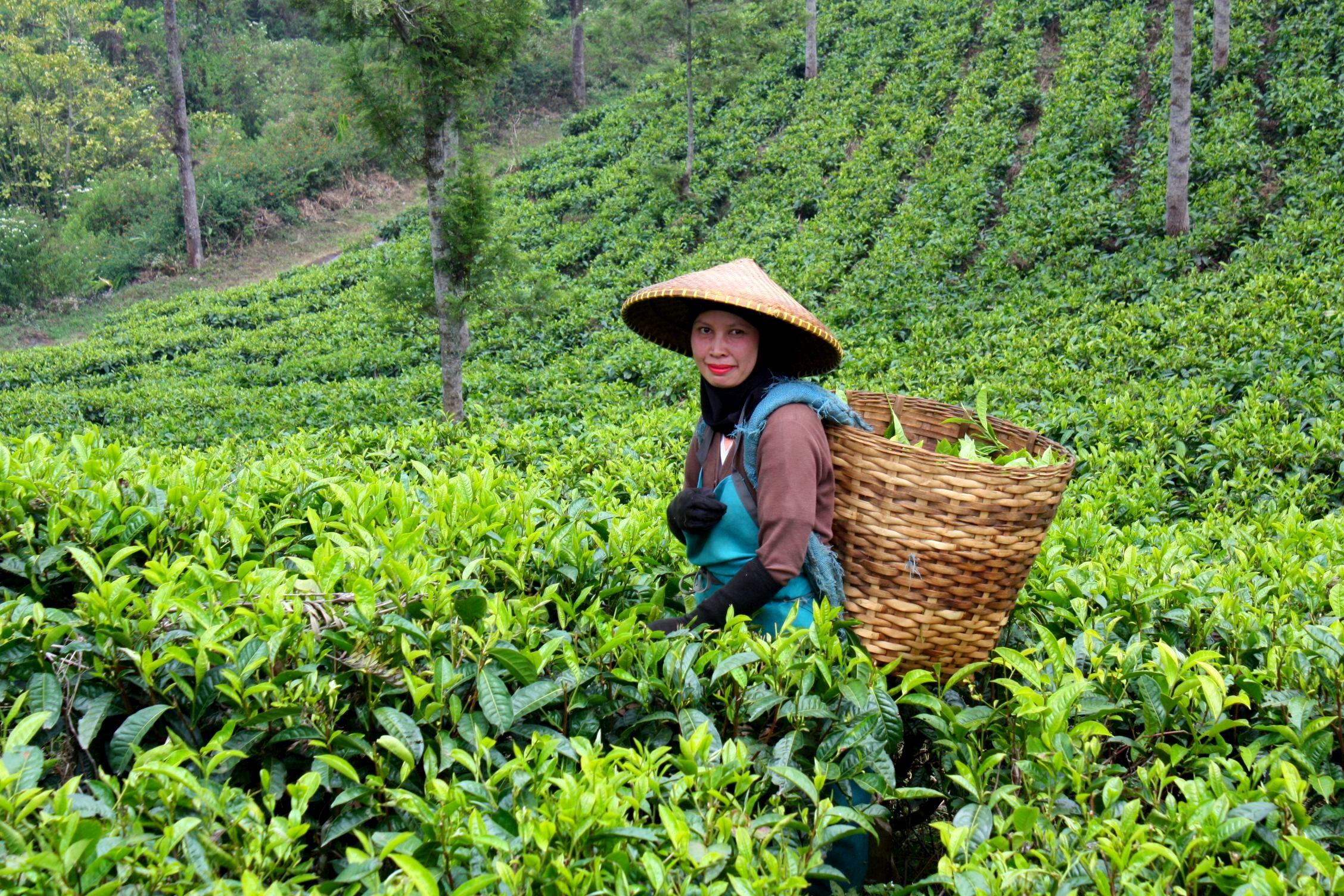 Tea Gardens in Munnar - TATA Tea Museum - Holidify