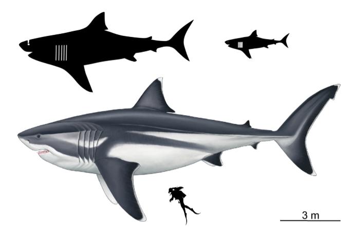 Megalodon size chart