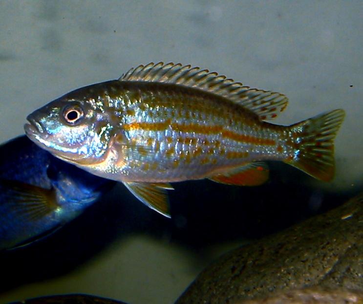 melanochromis joanjohnsonae.jpg